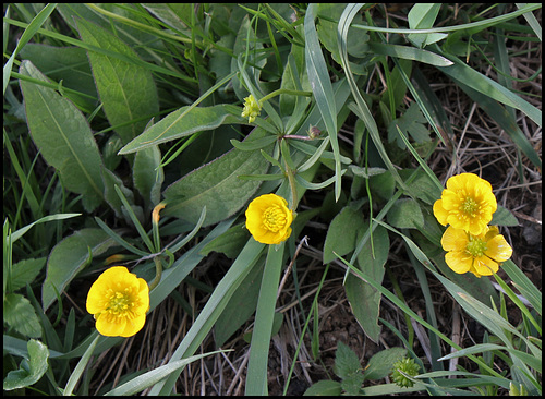 Ranunculus auricomus (3)