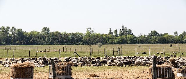 20170518 3071VRAw [A+H] Schafe, Neusiedler See