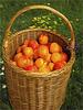 Ein Korb voll mit Aprikosen