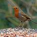 Robin on a birdtable