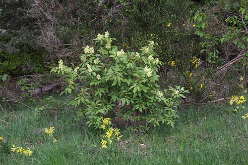 Sambucus racemosa- Sureau rouge (2)