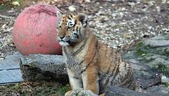 BESANCON: La Citadelle, Le tigre et les tigreaux. 16