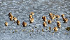 Black-tailed Godwit ~ Grutto's (Limosa limosa), ze zijn er weer...