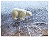 in der Arktis auf den Eissschollen
