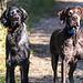 un par de perros muy serios