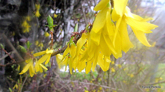 Yellow Flowering Bush.