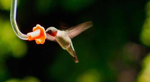 Backyard humming bird 2