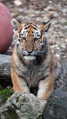 BESANCON: La Citadelle, Le tigre et les tigreaux. 17