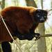 Roter Vari - Red ruffed lemur