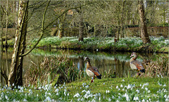 Egyptian Goose ~ Nijlgans (Alopochen aegyptiacus) between the Spring flowers ;)