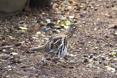 Spruce Grouse (female)