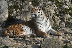 BESANCON: Citadelle: UnTigre de Sibérie (Panthera tigris altaica).03