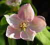 Fleur de cognassier.