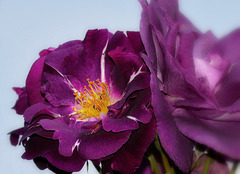Rose du jardin de Claude Monet !