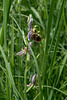 Ophrys fuciflora, Hummel-Ragwurz - 2017-06-01_D500_DSC1728