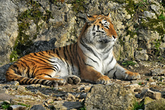 BESANCON: Citadelle: UnTigre de Sibérie (Panthera tigris altaica).04