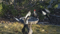 Woodpecker Meets Magpie Gang