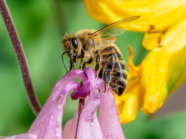 Honigbiene beim Nektar abpumpen