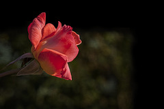 Harry & David Garden: Orange-Pink Rose