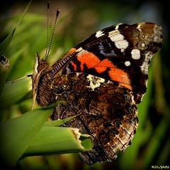 Regard de papillon.. le voilà dans toute sa beauté
