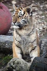 BESANCON: La Citadelle, Le tigre et les tigreaux. 18