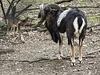 20170426 0627CPw [D~BI] Mufflon, Tierpark, Bielefeld