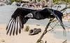Urubu - parc des oiseaux - Villars les Dombes