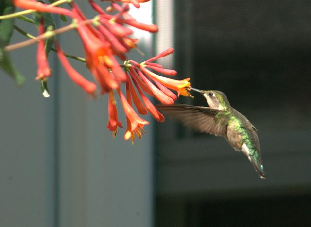 Backyard humming bird