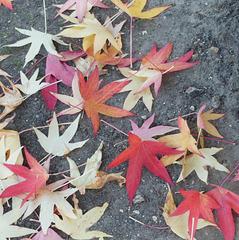F comme FEUILLES d'automne