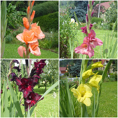 Gladiolen - gladioloj