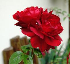 Mes roses  pour vous.bonne journée