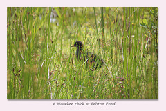 A Moorhen chick at Friston Pond - 27.6.2016