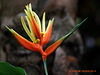 Heleconia aka  (False Bird of Paradise )125 copy