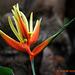 Heleconia aka  (False Bird of Paradise )125 copy