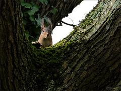 Écureuil roux prudent mais curieux.