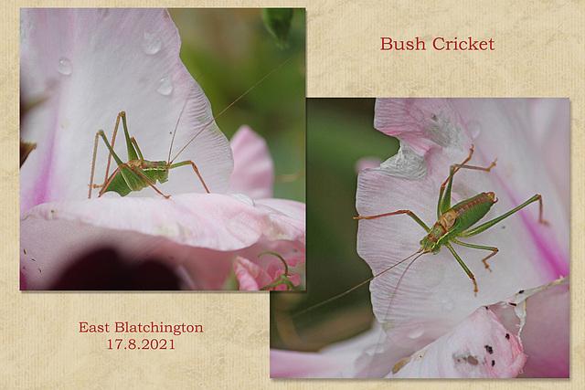 Bush cricket - East Blatchington - 17 8 2021