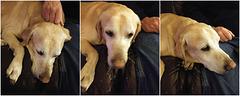 Doggie triptych