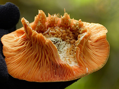 Why I would never eat wild mushrooms : )
