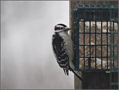 Huh-huh huh heh-huh. Huh-huh huh heh-huh. It's the downy woodpecker's turn