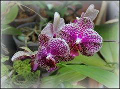 Phalaenopsis  I-Hsin Sun Beauty (3)