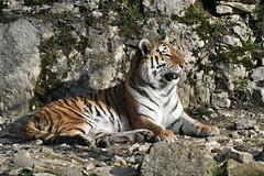 BESANCON: Citadelle: UnTigre de Sibérie (Panthera tigris altaica).06