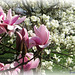 Magnolia Flowers (1)