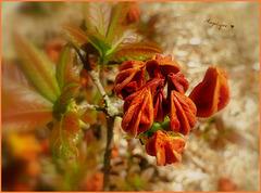 Bonne fête Eric ..........bonne journée ! Frémontodendron