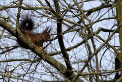 Écureuil roux gambadant.