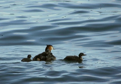 Great-crested Grebes / Haubentaucher