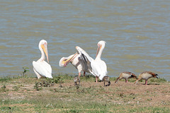 Ethiopia, Tana Lake, Friendly Mutual Assistance of Pelicans