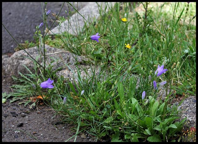 Campanula rotundifolia (2)