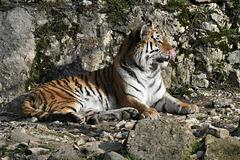 BESANCON: Citadelle: UnTigre de Sibérie (Panthera tigris altaica).07