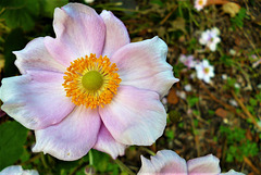 My Japanese anemone - not as many as before