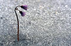 Fleurs de soldanelle - Vorarlberg - Autriche